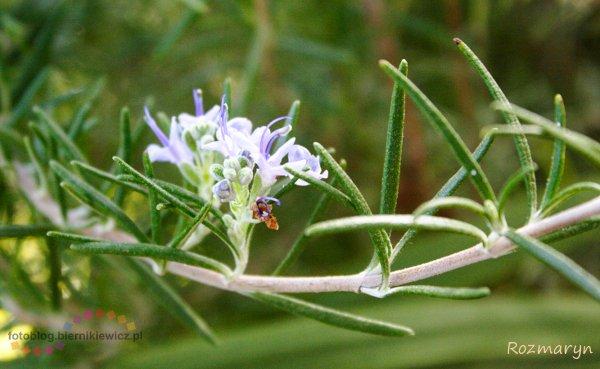 palmiarnia Lubiechów - rozmaryn